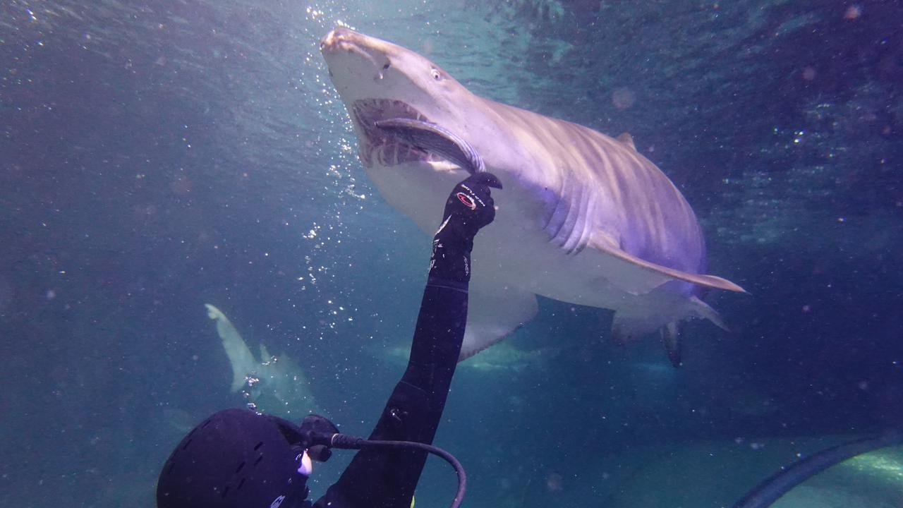 Shark Awareness Day: AustralianAquarium Dispels Popular Shark Myths