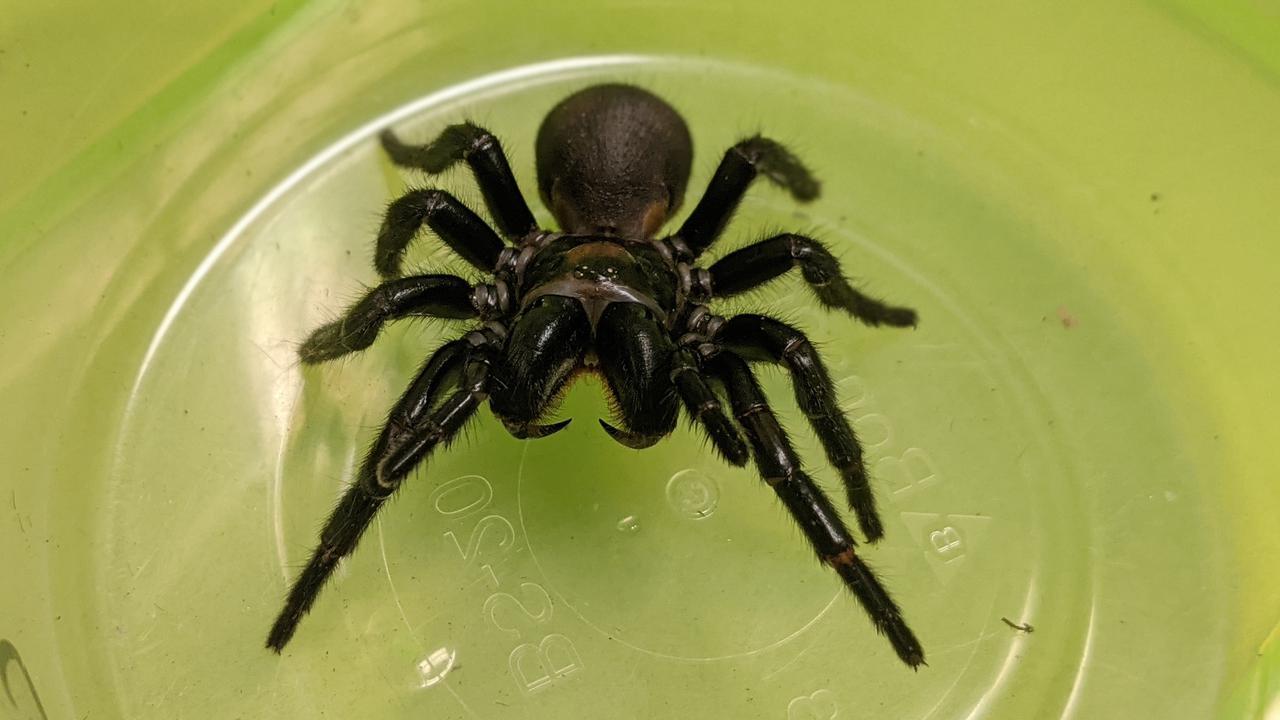 Spider Venom May Save Heart Attack Victims