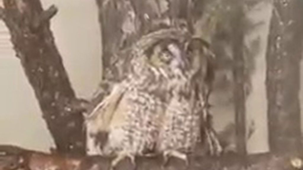 VIDEO: Owl's About That? Leo The Long-Eared Owl Goes All Gooey Eyed As She Takes A Shower