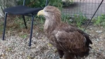 Russian police seized two eagles from a resident accused of offering tourists a chance to take pictures with them. (23.mvd.rf/Zenger News)
