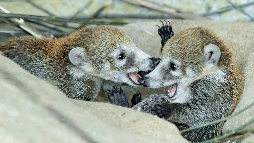 VIDEO: So Sweet They Could Be Sugar Coati-d: Cute Coatimundi Kittens Go On Show