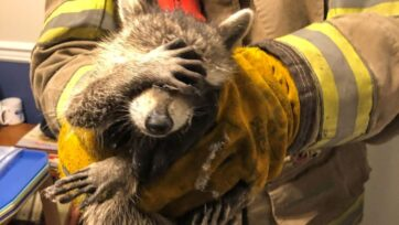 An 'embarrassed' raccoon was rescued from behind a woman's refrigerator by firefighters in Dalton, Georgia. (@CityOfDaltonFireDepartment/Zenger)