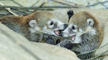 Las gemelas coatíes nacieron en el zoológico de Viena, Austria, el 22 de mayo de 2021. (Daniel Zupanc/Zenger)