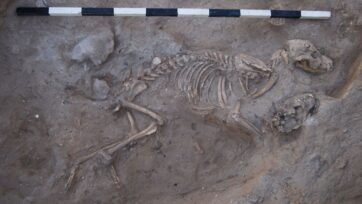 A dog buried in Ashkelon at the time of the Persian Empire has left modern-day researchers flummoxed. (Leon Levy Expedition to Ashkelon)