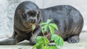 VIDEO: Seal-ed With A Kiss: Adorable Newborn Sea Lion Pup Plays With His Mom