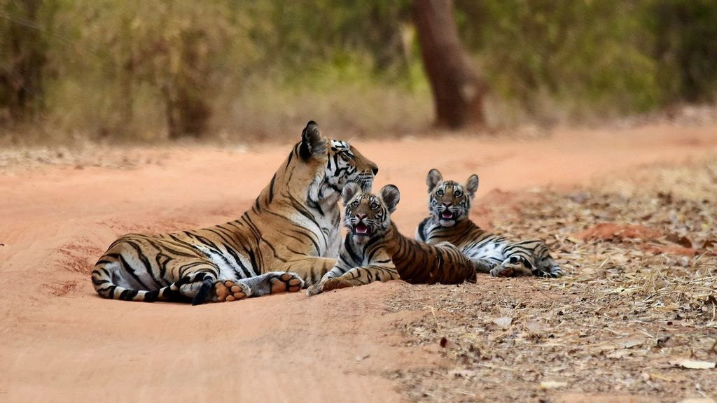 Indian PM Says Country's Tiger Population Doubled 4 Years Ahead Of 2022 Schedule