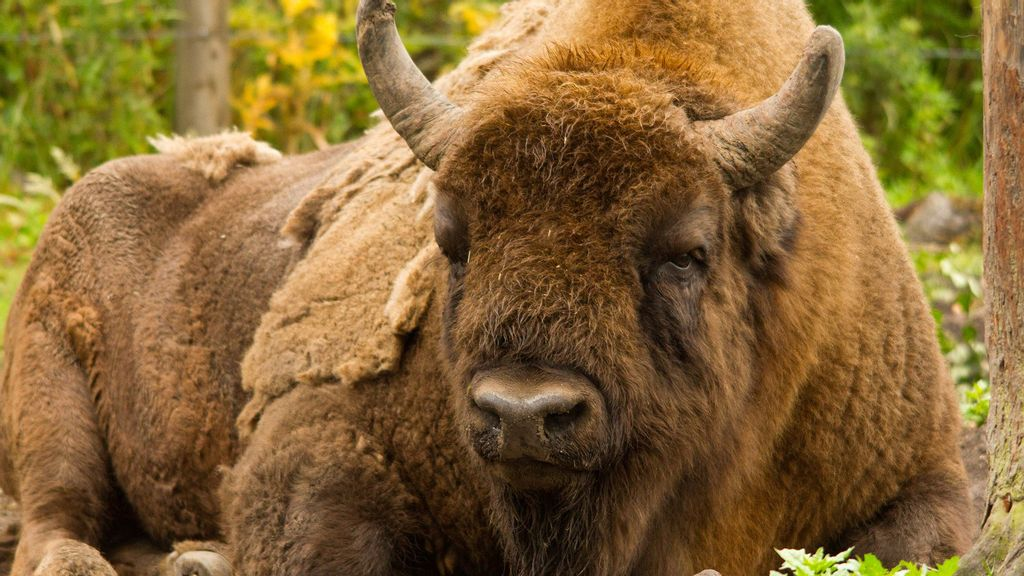 VIDEO: No Bull: Brits Recruit First Bison Wranglers For New Wild Herd