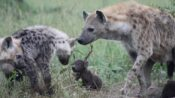 Spotted Hyenas Pass Down Social Ties And Classes, Study Finds