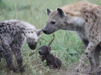 New research shows social connections among spotted hyenas are inherited and passed on from parent to offspring. (Kate Shaw Yoshida)