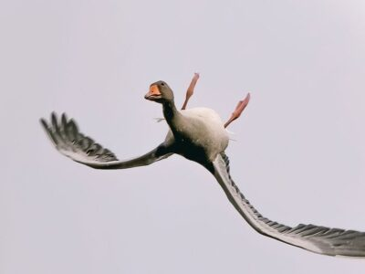 A bean goose flying upside down, as captured by Vincent Cornelissen, an amateur photographer. (@b0unce1971/Zenger News)