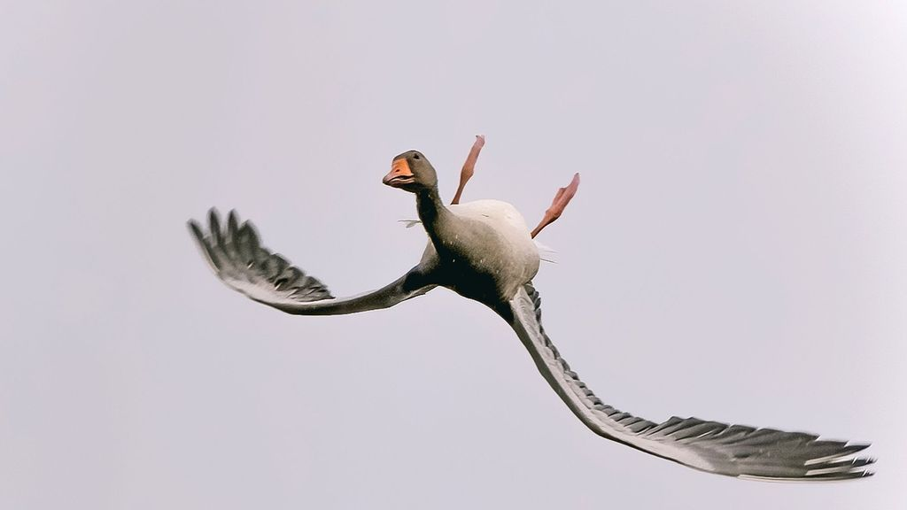 Not So Quackers: Goose Flying Upside Down Is Simply Showing Off, Say Experts