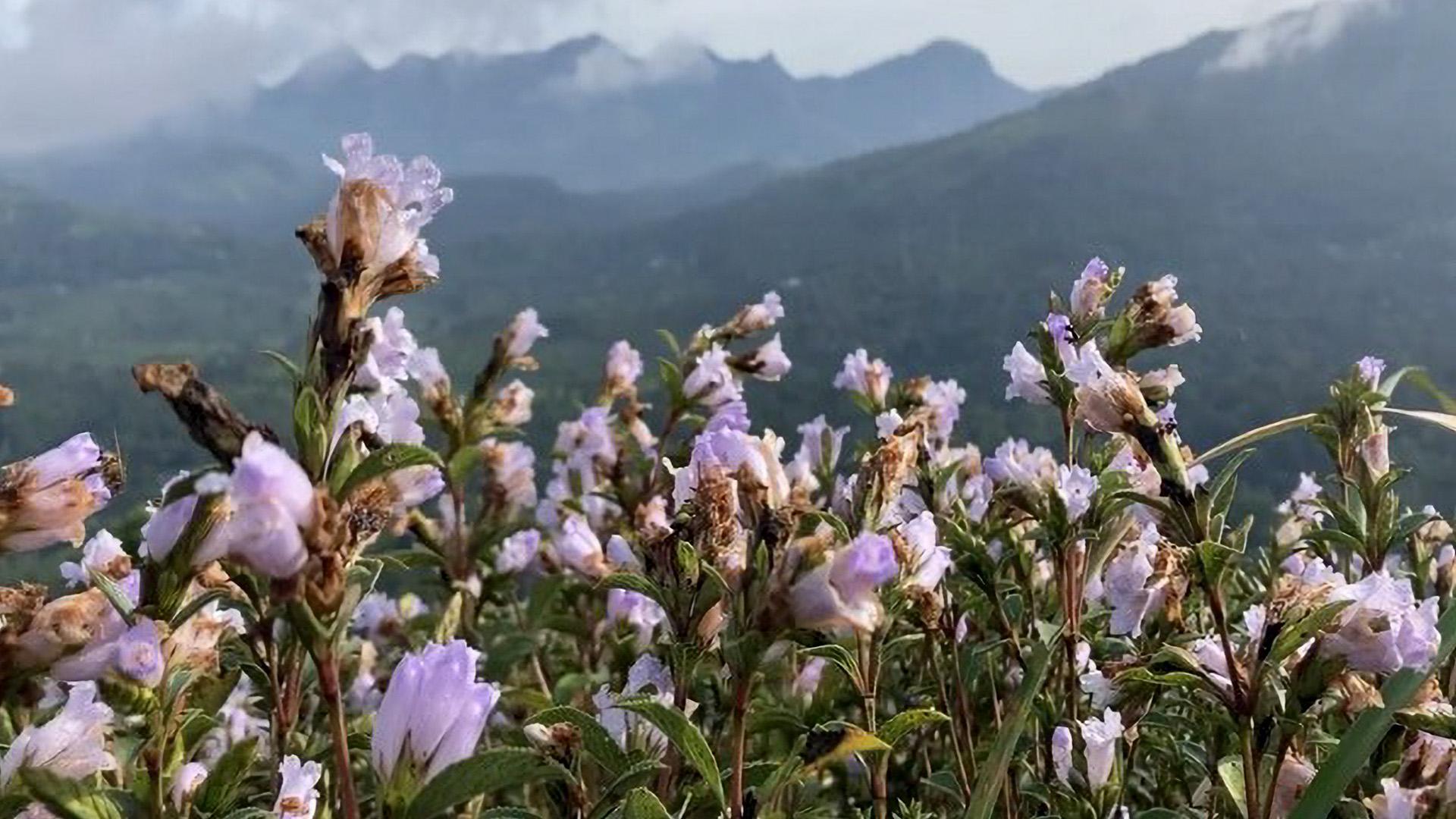 Neelakurinji Flowers Blossom In India After 12 Years