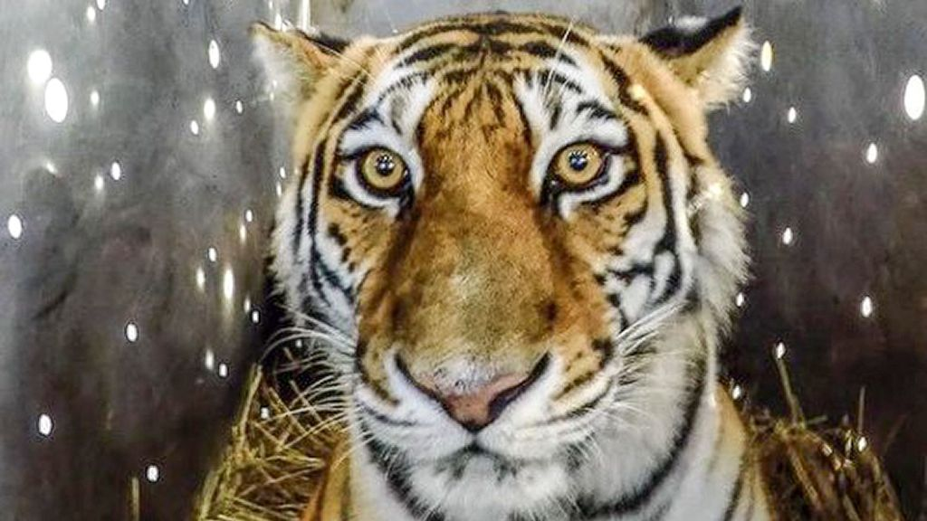 VIDEO: Tiger Woofs: Hungry Big Cat With A Taste For Pet Dogs Is Returned To The Wild