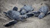Shell Shocker: Baby Turtles' Have Already Swallowed Enough Plastic Trash To Kill Them, Says Study