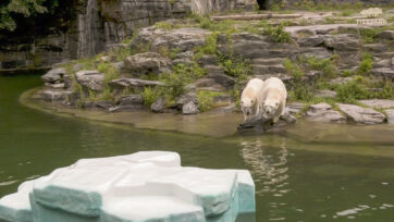 Polar bears named Hertha and Tonja prepare to jump into the water and explore the iceberg added for them at the Tierpark Berlin zoo in Germany. (Tierpark Berlin/Zenger)