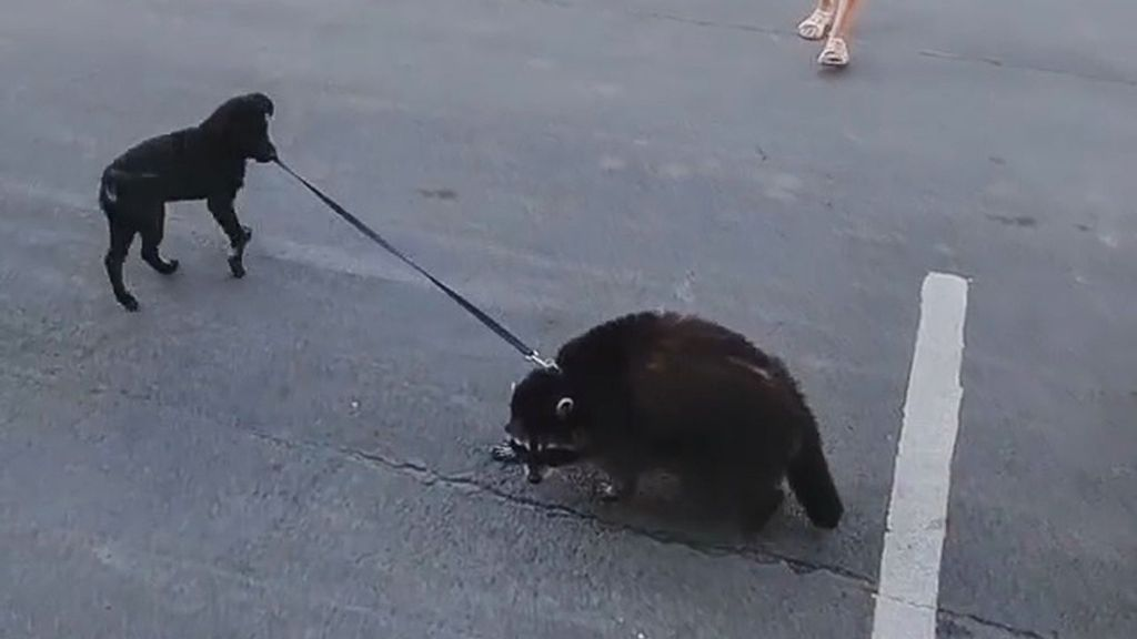 VIDEO: Fur Real? Roly-Poly Raccoon Gets Taken For Walks By Pet Pooch