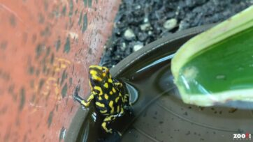 The first harlequin poison frog to reproduce naturally in the Zurich Zoo in Switzerland. (Zoo Zurich, Nicole Schnyder/Zenger)