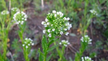 Growing the weed, pennycress, often called stinkweed, as a crop requires less fertilizer and fewer pesticides than other plants that can be used to make renewable jet fuel, according to a study. (Benet2006/Flickr (CC BY 2.0))