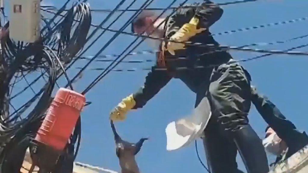 VIDEO: Policías rescatan a una zarigüeya silvestre enredada en cables de líneas telefónicas