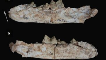 Sabertooth tiger jaws found at the mountain village of Guanghe County, Linxia Basin, in Gansu. (Institute of Vertebrate Paleontology and Paleoanthropology/Zenger)