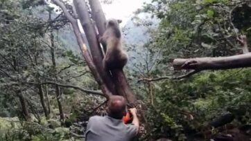 One of the forest rangers works to free a bear cub stuck between two trees in northern Italy. (Provincia autonoma di Trento/Zenger)
