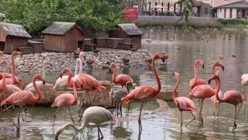 Five flamingo chicks, one pink and four red, were born at the Moscow Zoo in Russia. (@moscow_zoo/Zenger)