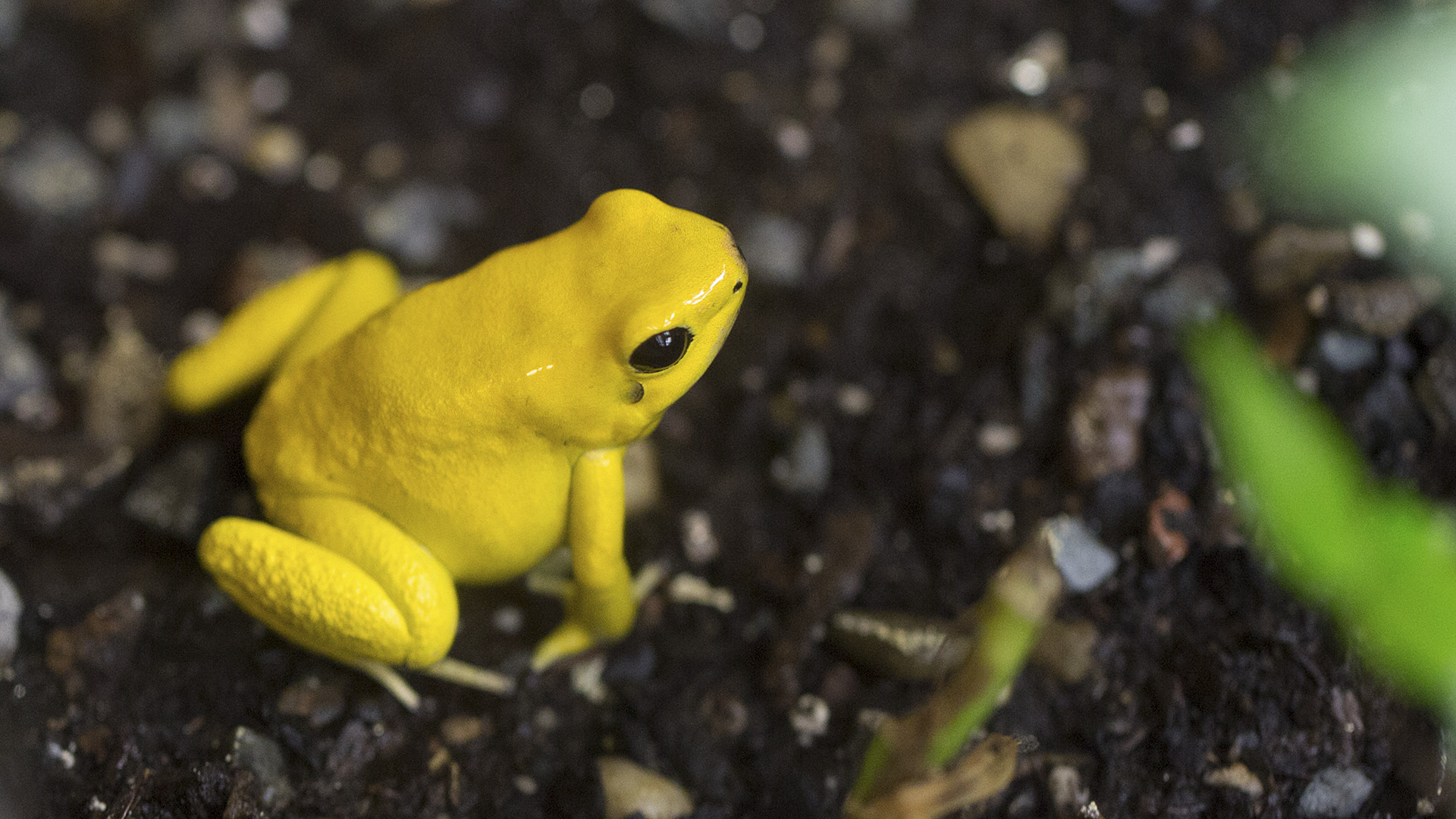 Toxic Shocker: Deadly Frogs Have Special Sponges To Stop Them Dying From Their Own Poison