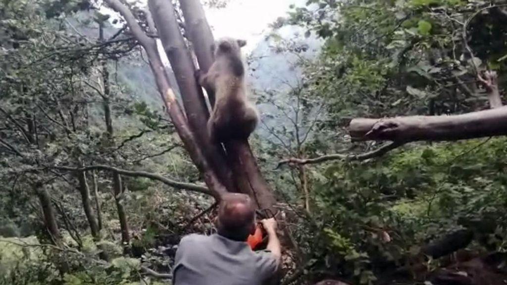 VÍDEO: Guardabosques liberan a osezno atrapado entre dos árboles