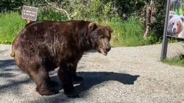 strongEl oso grizzly pasó junto a un grupo de turistas en Alaska el 4 de agosto, pero no les hizo daño. (@mrsb111/Zenger)/strong