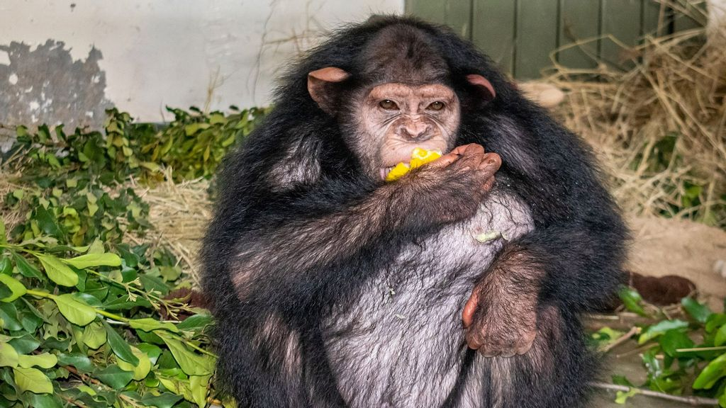 VIDEO: Monkey Me Monkey You: Chimp Who's Only Ever Lived With Humans Sent To Ape School