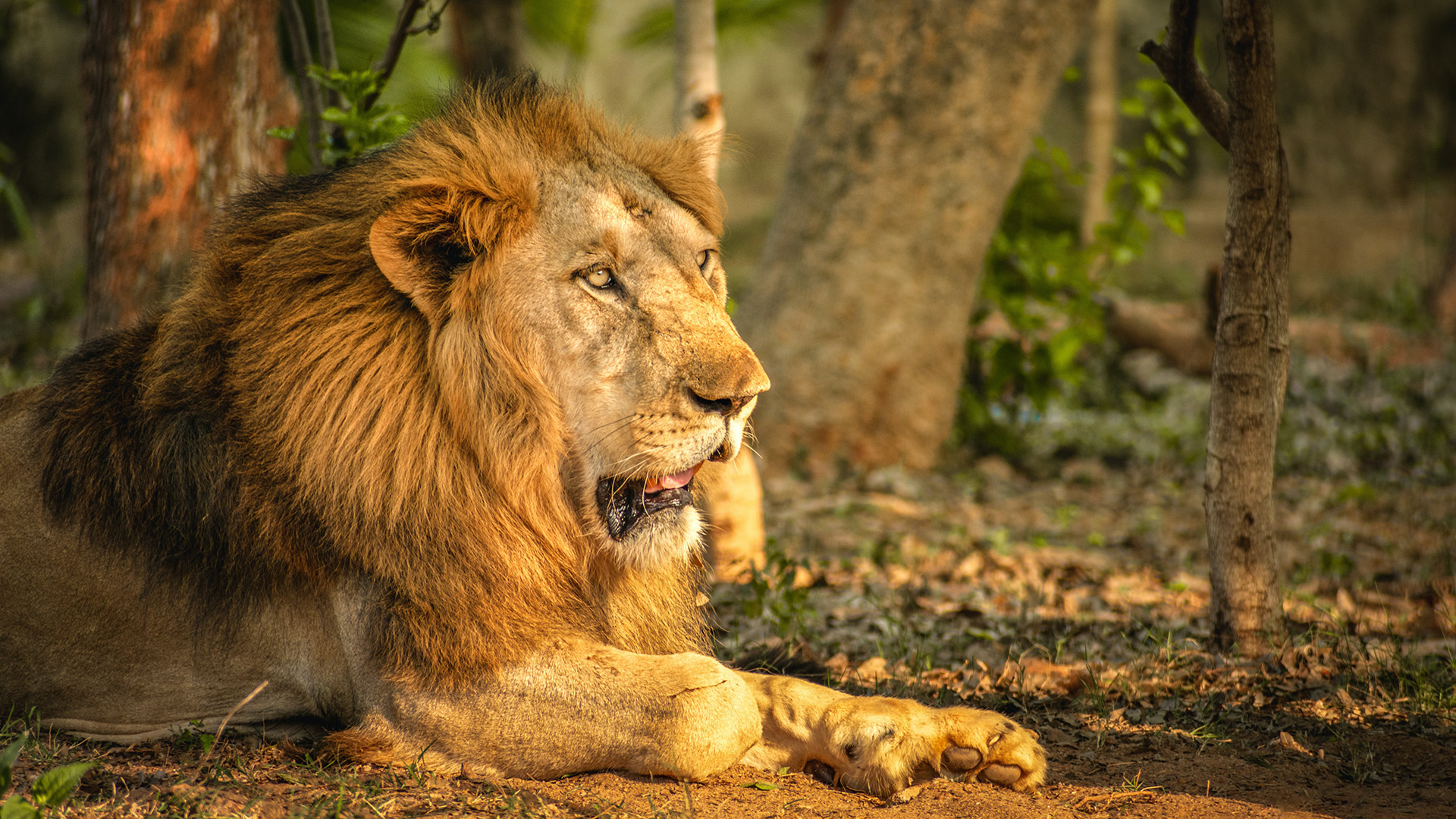 Indian Prime Minister Lauds Conservation Efforts, Notes Steady Increase In India's Lion Population