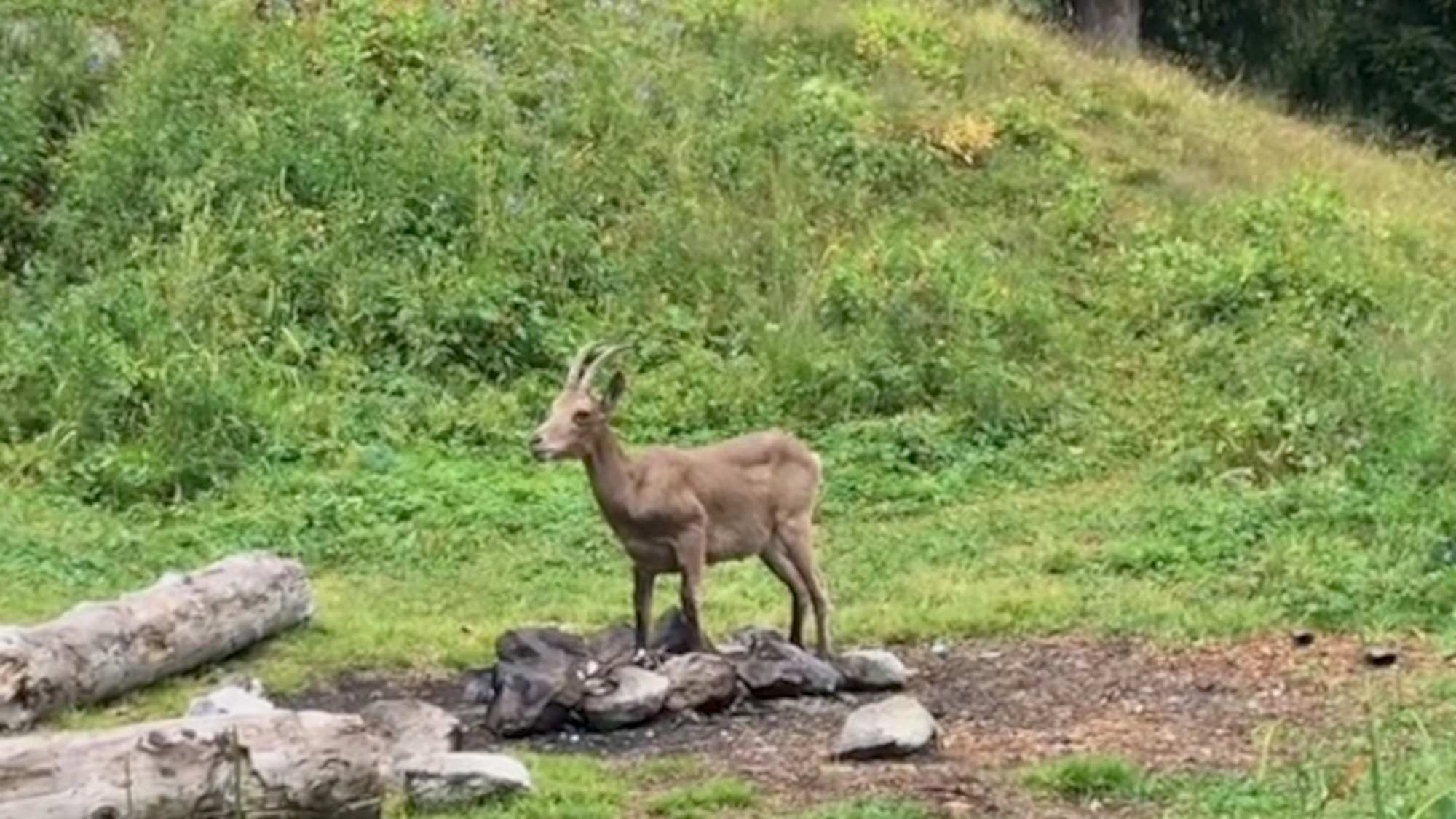 VIDEO: Campers Leave Plastic Behind For Goats To Eat