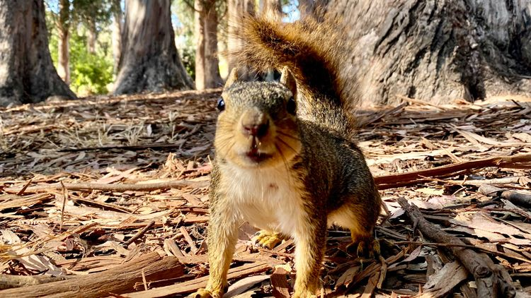 Not So Nuts: Leaping Squirrels Could Hold The Key To Boosting Robot Agility, Say Scientists
