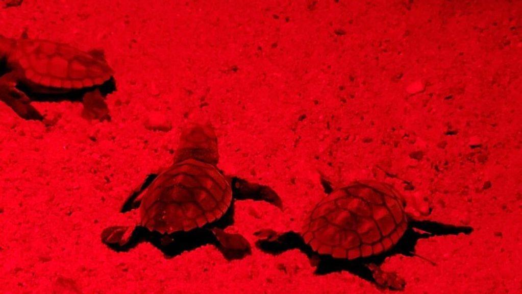 First Endangered Loggerhead Turtles Hatch On An Israeli Beach