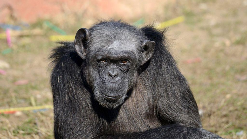 Olding Back The Tears: Heartbreak As Europe's Oldest Chimp Dies