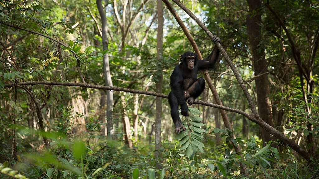 Having A Wingman Helps Male Chimps Find More Mates