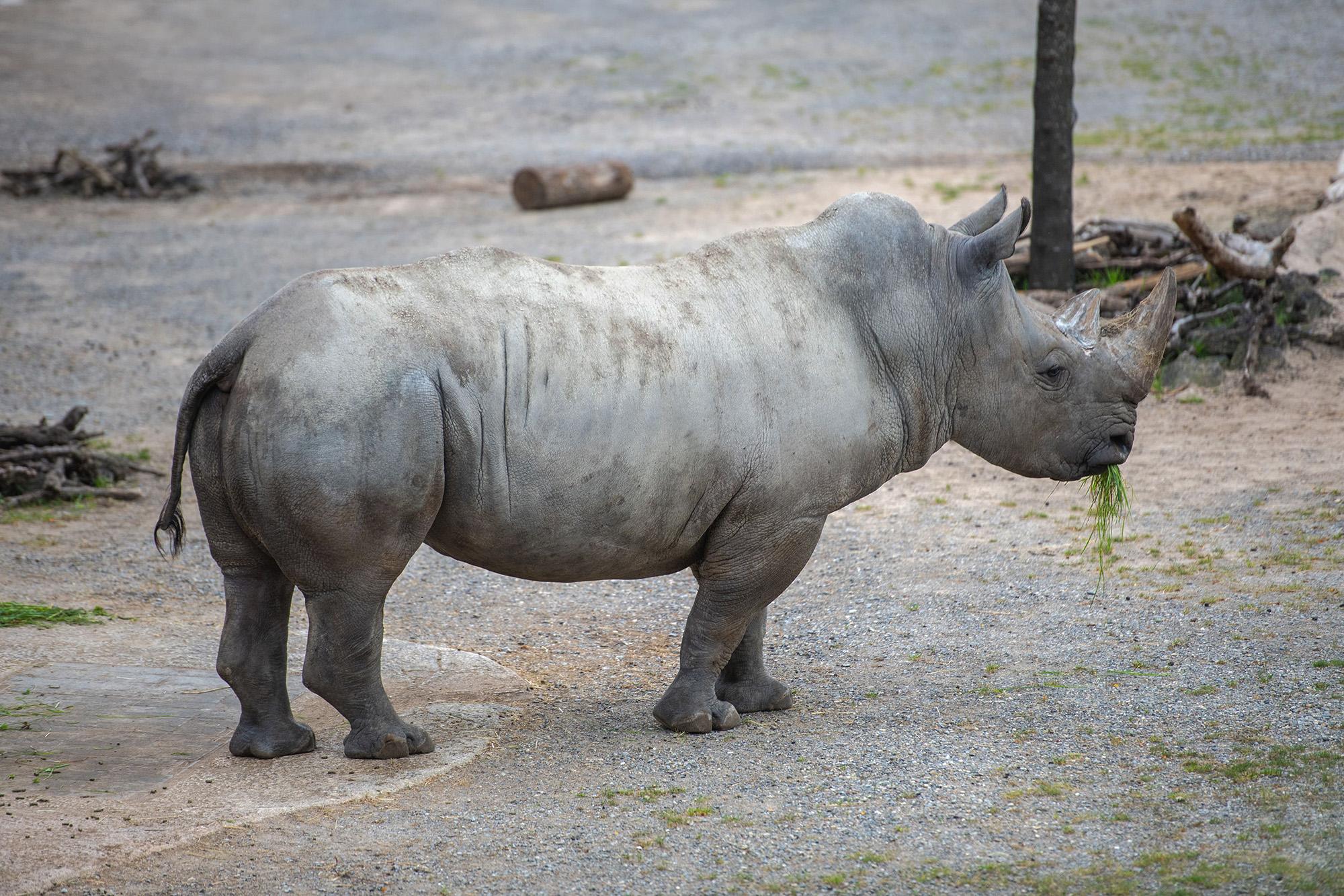 VIDEO: Threatened Male White Rhino To Lead Zoo Breeding Program