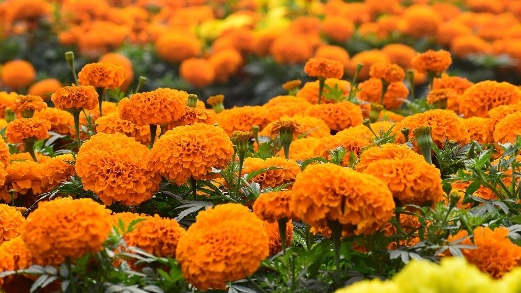 Move Over Imports: Bunch Of Friends Growing Native Marigolds For Festival In Indian State