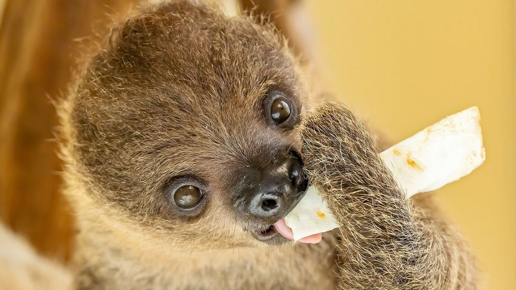 VIDEO: Hang In There Baby: Adorable Newborn Sloth Snuggles Up With Mom
