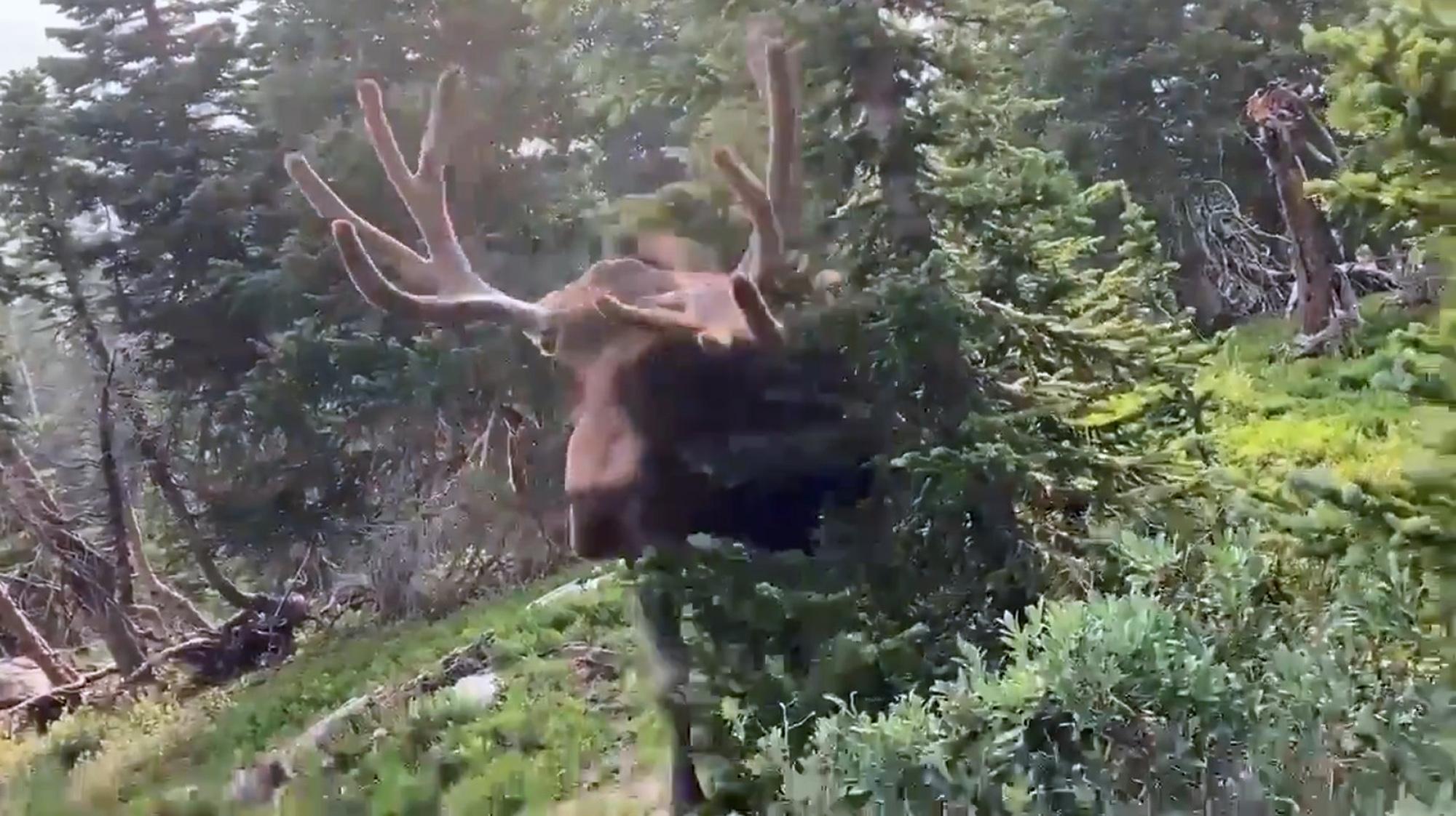 VÍDEO: Muy cargado: alce furioso ataca a amante de la naturaleza