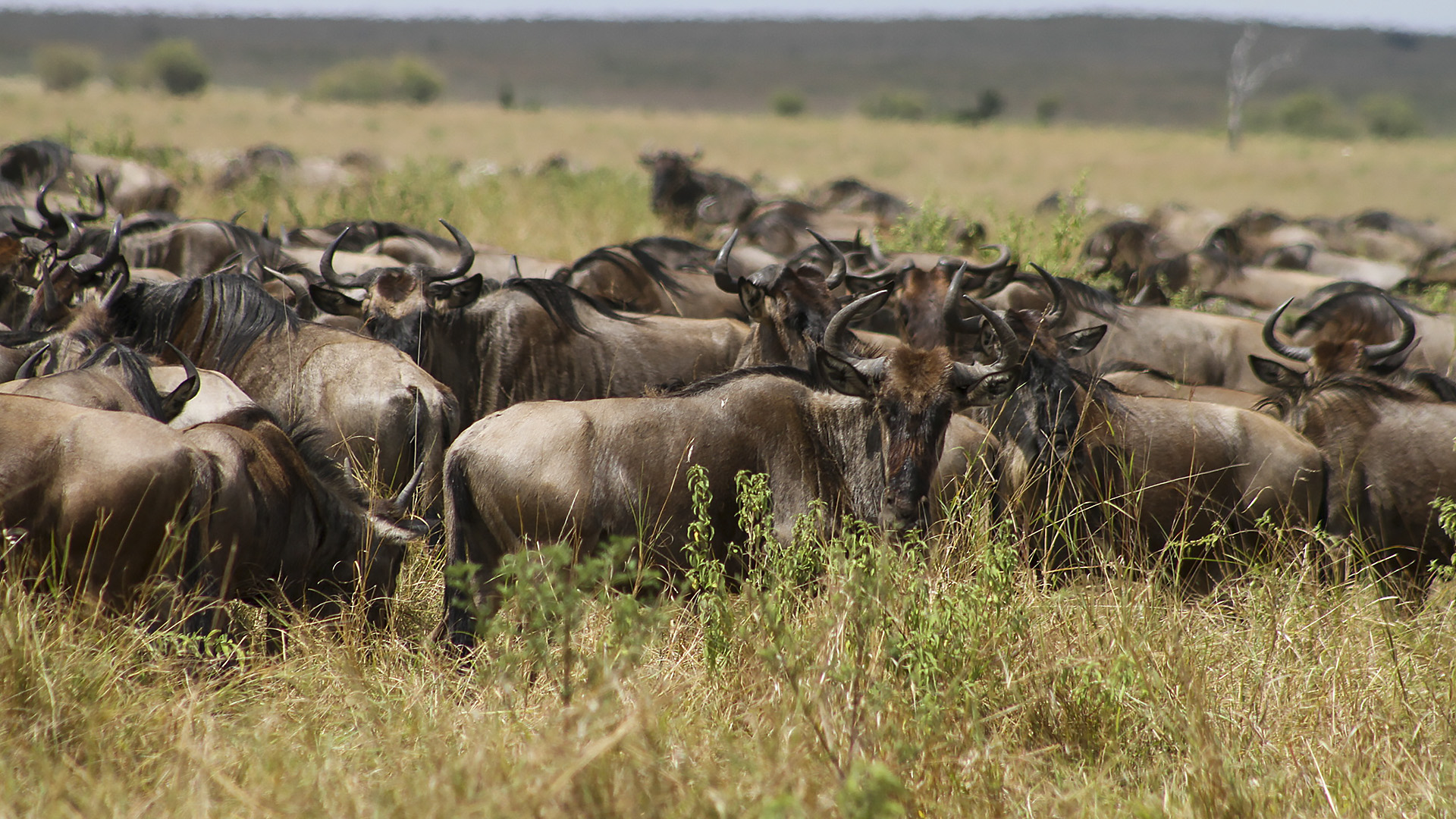 What A Spectacle! Over 1.2 Million Wildebeests Begin Annual Kenya-Tanzania Migration
