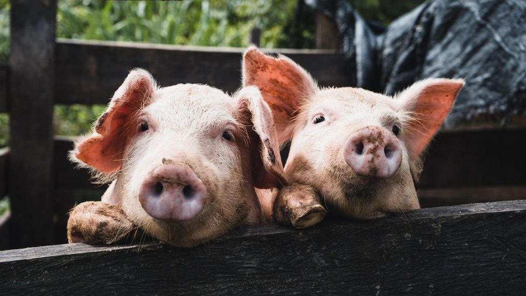 Don't Go Bacon My Heart: Scientists Adapt Pig Organs For Human Transplants