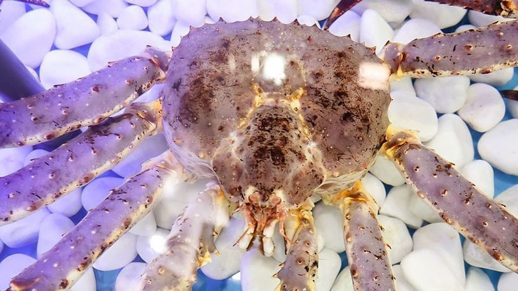 VIDEO: Shelfie Anyone? Giant Crab That Became A Celeb Influencer Returns To The Sea