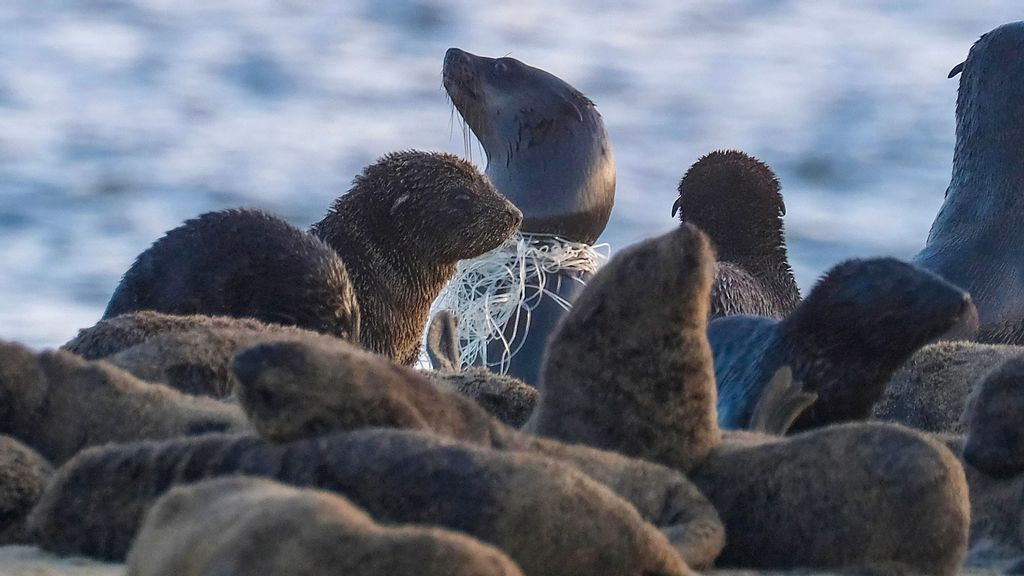 VIDEO: A-Trawling Cruelty: Seals Suffer Horrific Slow Death As They're Throttled By Fishing Nets