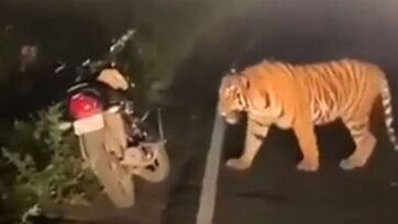 One of two tigers that emerged from a wooded area crosses the highway in western Maharashtra state, India, bringing cars to a halt. (Newsflash/Zenger)