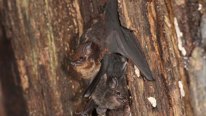 Bat Pups Babble Like Human Infants