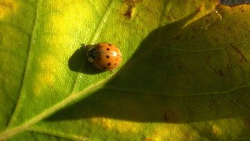 The U.S. Department of Agriculture introduced Asian lady beetles like this one into the United States in the 1970s to keep aphids from destroying crops, but an unlimited food supply in the area caused a population boom. The smell they produce frightens destructive aphids. (Mike Simons/Getty Images)