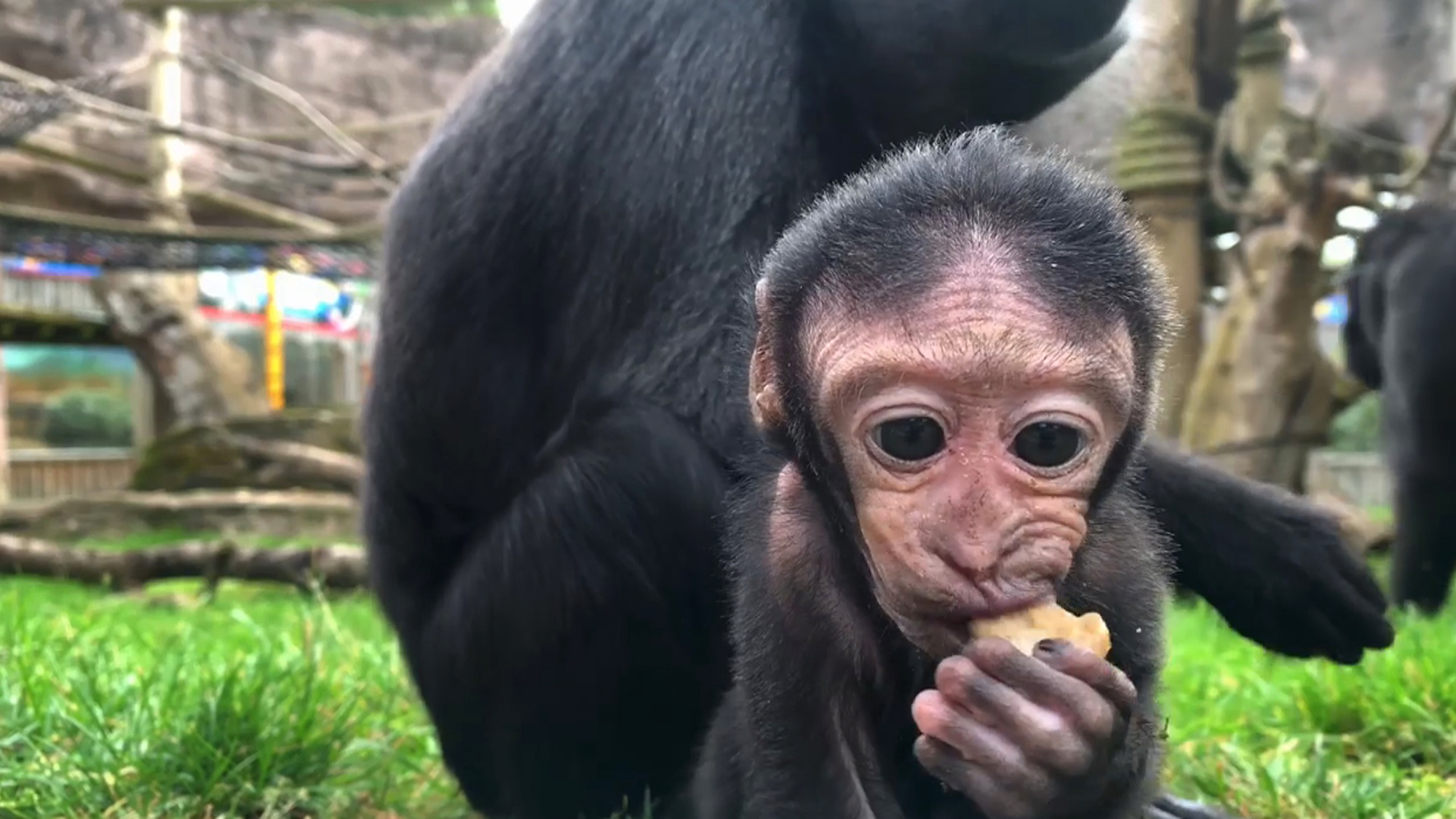 VIDEO: Little Mac And Flies: Baby Macaque Monkey Runs Mom Ragged On Her First Outing