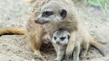 The meerkat pup was recently born in a zoo in Vienna. (Daniel Zupanc/Zenger)