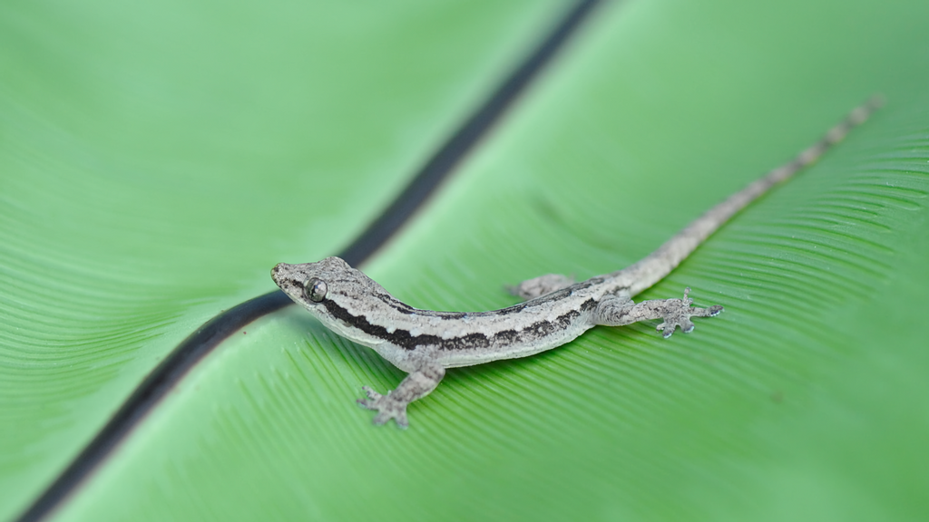 VIDEO: Sticky Fingers And Impact-Absorbing Tails Are Gecko Lizards' Super Powers